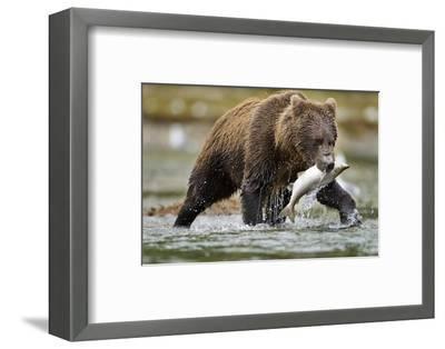 Brown Bear, Katmai National Park, Alaska-Paul Souders-Framed Photographic Print