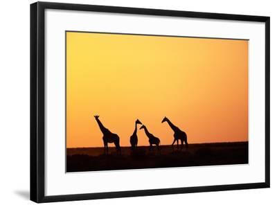 Giraffe Herd at Sunset--Framed Photographic Print