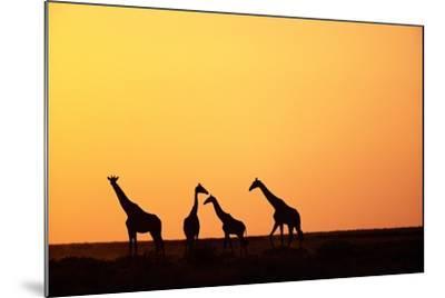 Giraffe Herd at Sunset--Mounted Photographic Print