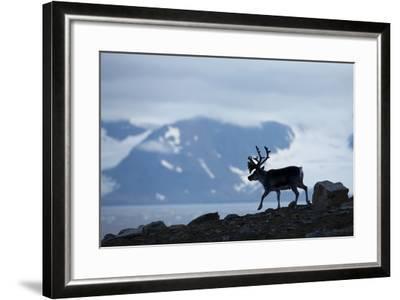 Reindeer, Svalbard, Norway-Paul Souders-Framed Photographic Print