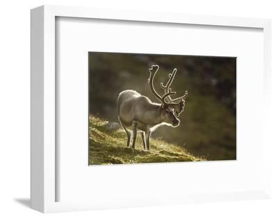 Reindeer, Svalbard, Norway-Paul Souders-Framed Photographic Print