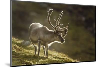 Reindeer, Svalbard, Norway-Paul Souders-Mounted Photographic Print