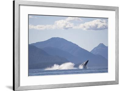 Breaching Humpback Whale in Chatham Strait--Framed Photographic Print