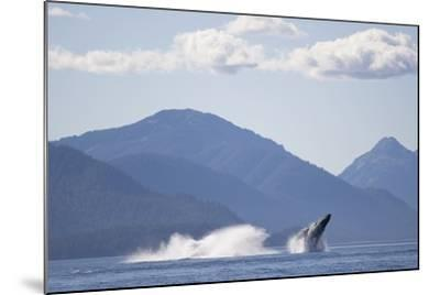 Breaching Humpback Whale in Chatham Strait--Mounted Photographic Print