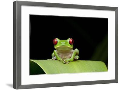 Red Eyed Tree Frog, Costa Rica--Framed Photographic Print