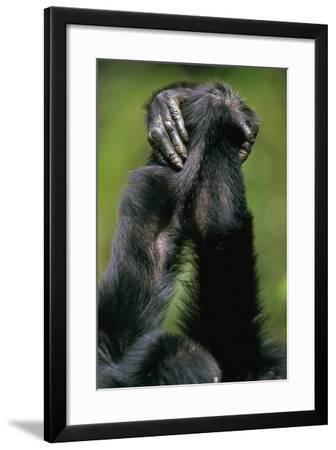 Close-Up of Chimpanzees Holding Hands--Framed Photographic Print