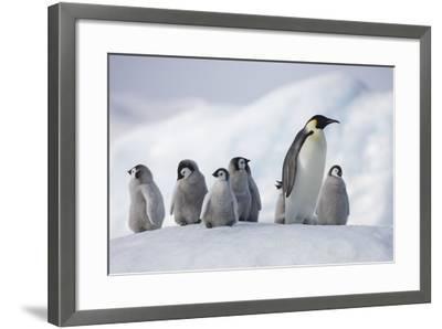 Emperor Penguins in Antarctica--Framed Photographic Print