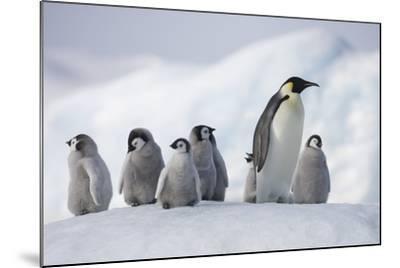 Emperor Penguins in Antarctica--Mounted Photographic Print