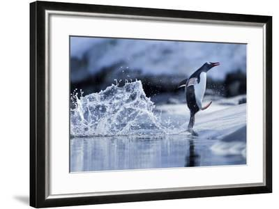 Leaping Gentoo Penguin, Antarctica--Framed Photographic Print
