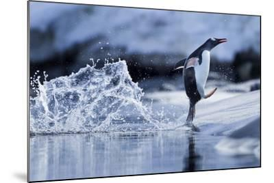 Leaping Gentoo Penguin, Antarctica--Mounted Photographic Print