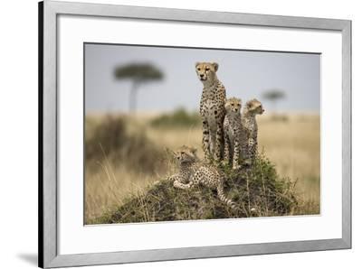 Cheetah and Cubs, Masai Mara Game Reserve, Kenya--Framed Photographic Print