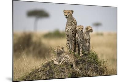 Cheetah and Cubs, Masai Mara Game Reserve, Kenya--Mounted Photographic Print