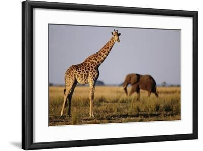 Giraffe and Elephant on the Savanna-Paul Souders-Framed Photographic Print