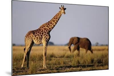 Giraffe and Elephant on the Savanna-Paul Souders-Mounted Photographic Print