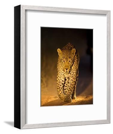 Leopard at Night, Sabi Sabi Reserve, South Africa--Framed Photographic Print