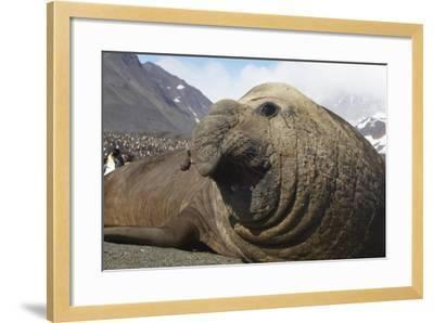 Elephant Seal on South Georgia Island--Framed Photographic Print