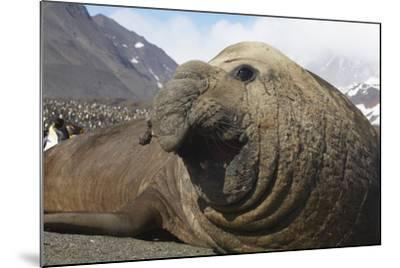 Elephant Seal on South Georgia Island--Mounted Photographic Print