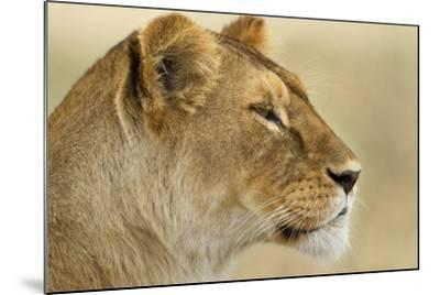 Lioness--Mounted Photographic Print