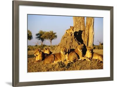 Lion Pride Resting at Acacia Tree--Framed Photographic Print