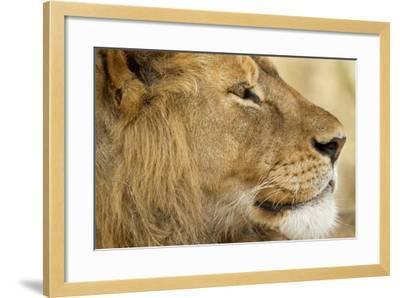 Lion, Ngorongoro Conservation Area, Tanzania--Framed Photographic Print