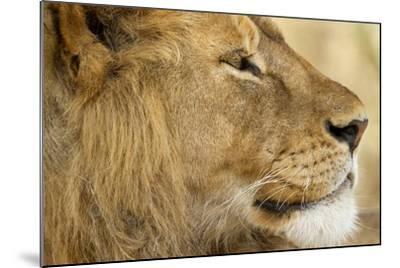 Lion, Ngorongoro Conservation Area, Tanzania--Mounted Photographic Print