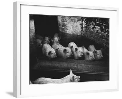 Pigs--Framed Photographic Print