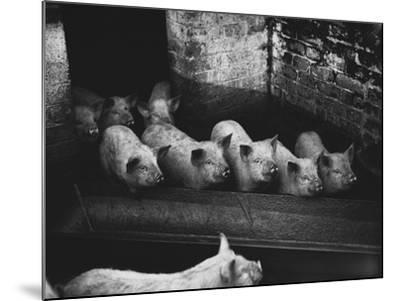 Pigs--Mounted Photographic Print
