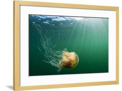Lion's Mane Jellyfish, Alaska-Paul Souders-Framed Photographic Print