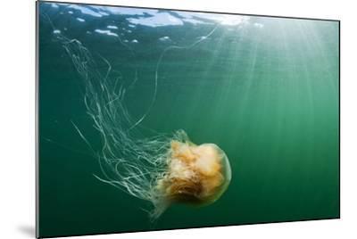 Lion's Mane Jellyfish, Alaska-Paul Souders-Mounted Photographic Print