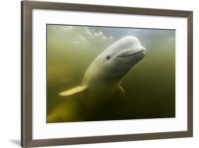 Beluga Whale, Hudson Bay, Canada--Framed Photographic Print