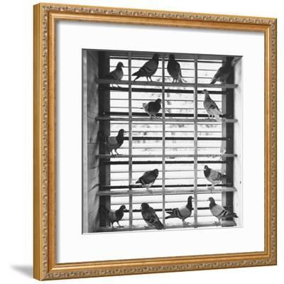 Young Pigeons in a Loft--Framed Photographic Print