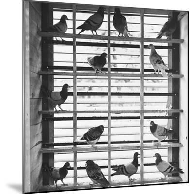 Young Pigeons in a Loft--Mounted Photographic Print