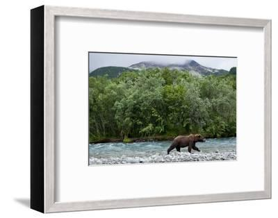 Brown Bear, Katmai National Park, Alaska-Paul Souders-Framed Photographic Print