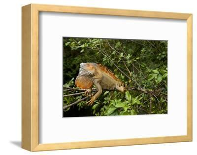 Green Iguana in a Tree in Costa Rica-Paul Souders-Framed Photographic Print