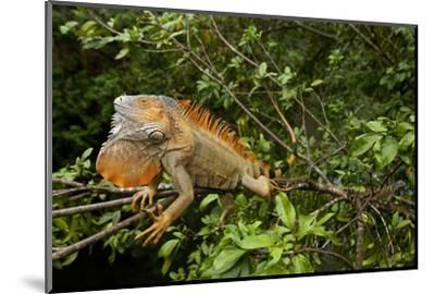 Green Iguana in a Tree in Costa Rica-Paul Souders-Mounted Photographic Print
