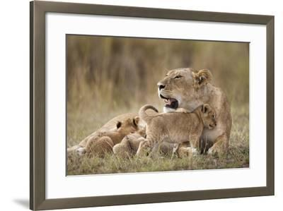 Lioness Nursing Cubs in Masai Mara National Reserve-Paul Souders-Framed Photographic Print
