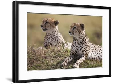 Cheetahs Resting in Grass-Paul Souders-Framed Photographic Print