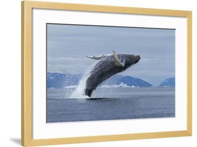 Humpback Whale Calf Breach in Disko Bay in Greenland-Paul Souders-Framed Photographic Print