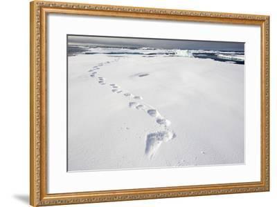 Polar Bear Tracks in Fresh Snow at Spitsbergen Island-Paul Souders-Framed Photographic Print