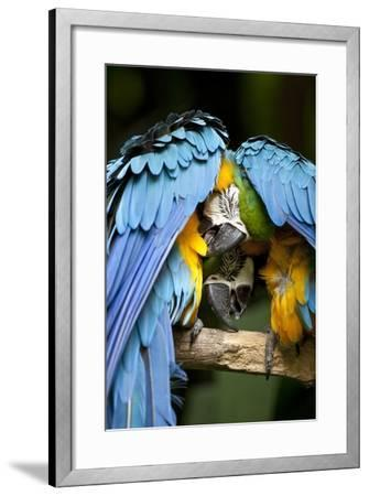 Blue-And-Gold Macaws at Zoo Ave Park-Paul Souders-Framed Photographic Print