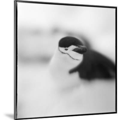 Chinstrap Penguin, Antarctica-Paul Souders-Mounted Photographic Print