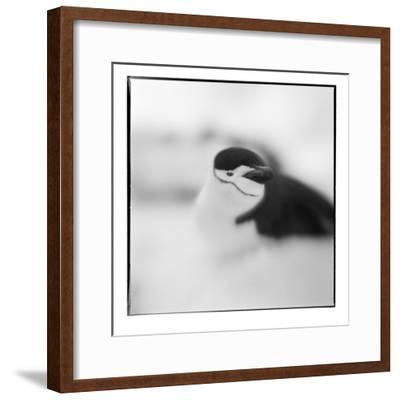 Chinstrap Penguin, Antarctica-Paul Souders-Framed Photographic Print