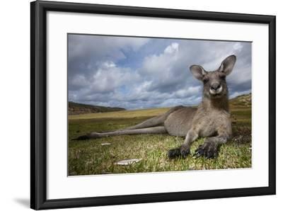 Eastern Gray Kangaroo in Murramarang National Park-Paul Souders-Framed Photographic Print