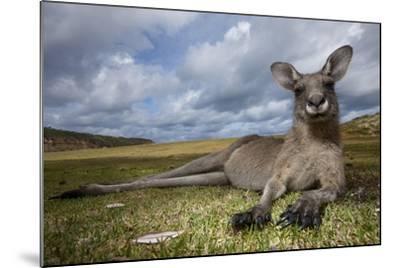 Eastern Gray Kangaroo in Murramarang National Park-Paul Souders-Mounted Photographic Print