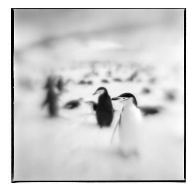 Chinstrap Penguins, Antarctica-Paul Souders-Framed Photographic Print