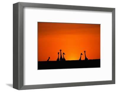 Giraffe Silhouettes at Sunset-Paul Souders-Framed Photographic Print
