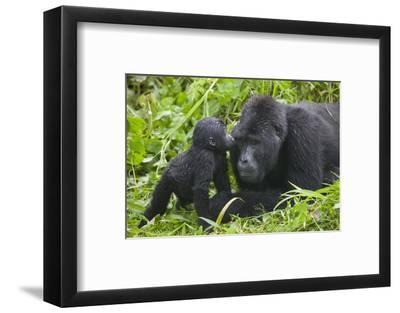 Baby Gorilla Kisses Silverback Male--Framed Photographic Print