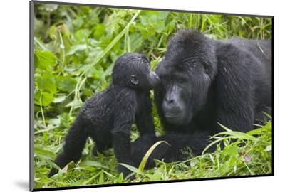 Baby Gorilla Kisses Silverback Male--Mounted Photographic Print