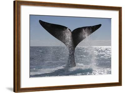 Southern Right Whale Off Peninsula Valdes, Patagonia-Paul Souders-Framed Photographic Print