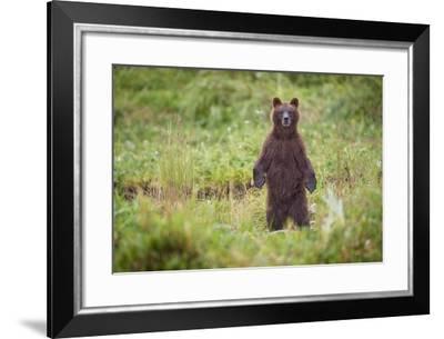 Brown Bear in Coastal Meadow in Alaska-Paul Souders-Framed Photographic Print